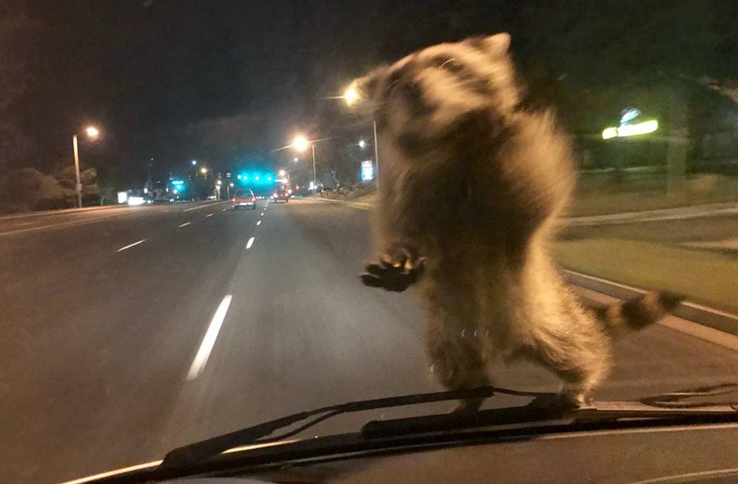 This Wednesday, Sept 20, 2017, image released by the Colorado Springs Police Department shows a van dash camera showing a raccoon on a windshield. (Colorado Springs Police Department via AP)