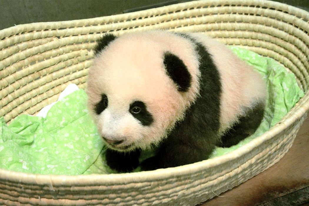 This Wednesday, Sept. 20, 2017 photo released by Tokyo Zoological Park Society, shows a female giant panda cub on the 100th day since her birth, at Ueno Zoo in Tokyo. The baby giant panda now has  ...