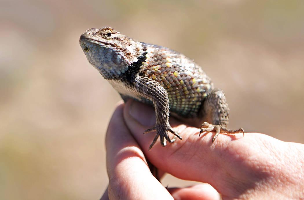 Nevada Department of Wildlife herpetologist Jason Jones  holds a desert spiny lizard which he caught then released near Primm on Thursday, Sept. 14, 2017. (Bridget Bennett/Las Vegas Review-Journal ...
