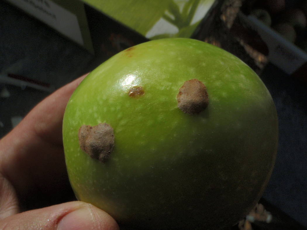 Bob Morris Bitter pit develops on older apple trees that have been harvested for many years. Brown spots develop in the flesh of apple fruit because of a calcium deficiency inside the fruit.