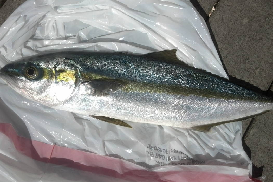 This April 9, 2015 photo provided by the Oregon Department of Fish and Wildlife shows a yellowtail jack fish that was captured from Japanese tsunami wreckage in Oregon. (Caren Braby/Oregon Departm ...