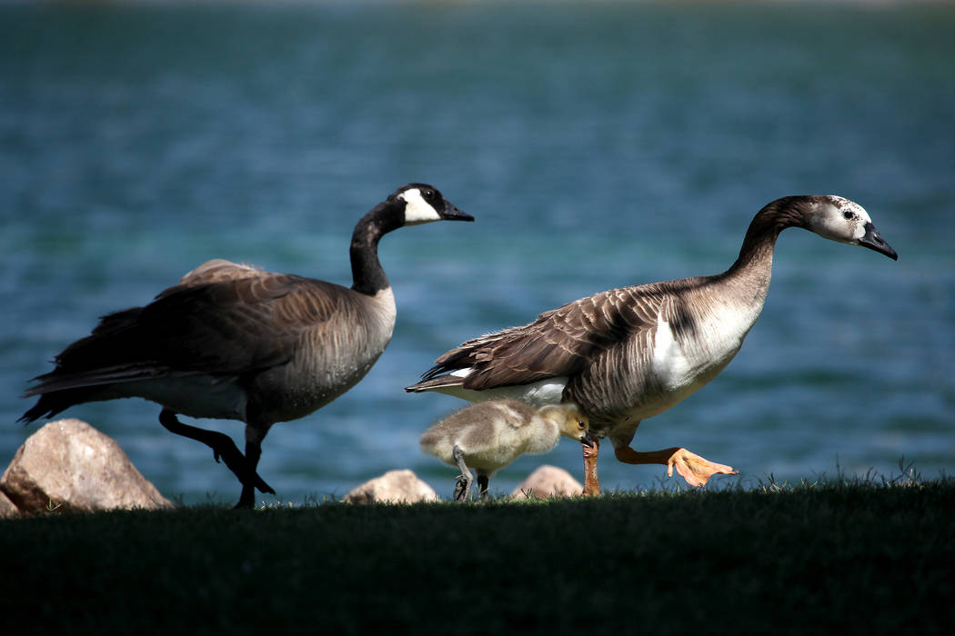 A mother goose walks her gosling along the edge of the pond at Lorenzi Park in Las Vegas. Las Vegas Review-Journal