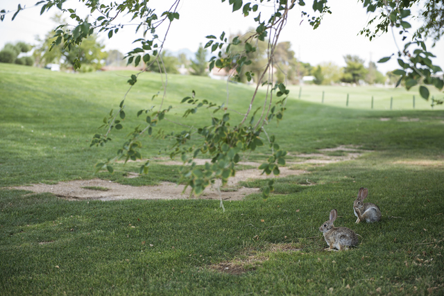 Rabbits are seen in the shade at Black Mountain golf course in Henderson on Friday, June 26, 2015. (Martin S. Fuentes/Las Vegas Review-Journal)