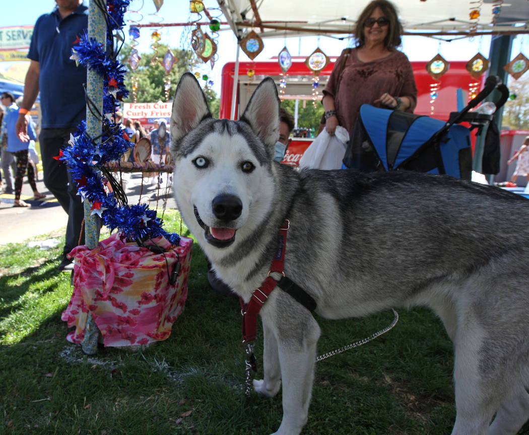 Royal, a nine-month-old Siberian husky, looks to the camera during the Art in the Park festival in Boulder City, Saturday, Oct. 7, 2017. Gabriella Benavidez Las Vegas Review-Journal @latina_ish