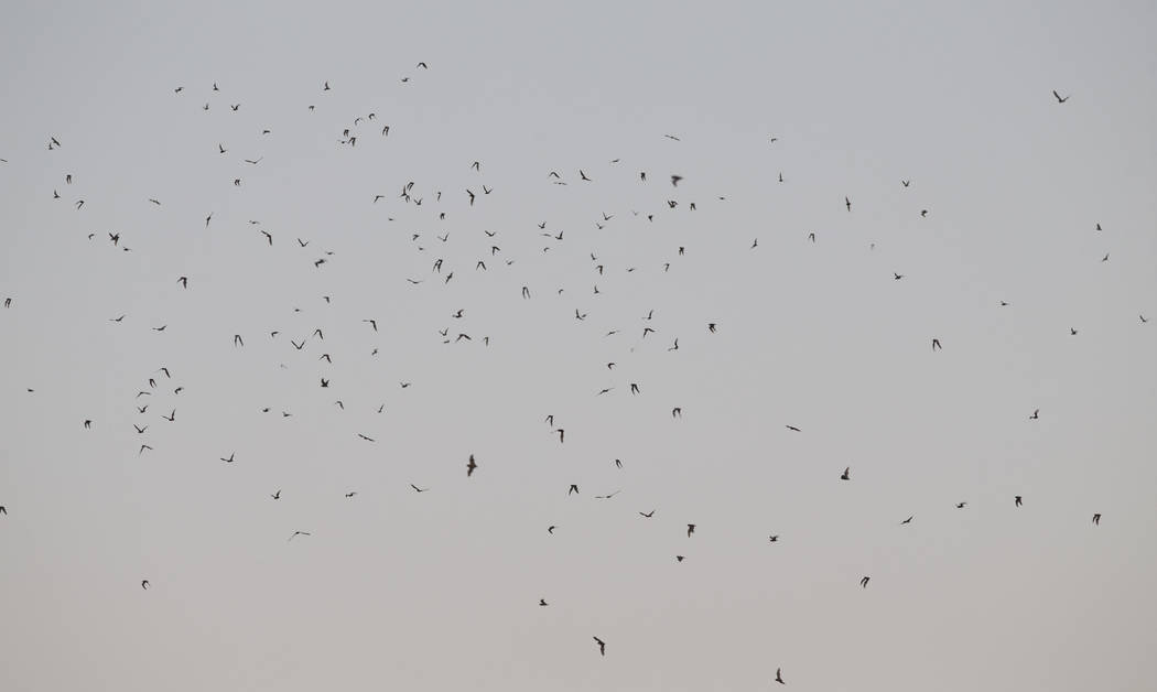 Hundreds of bats fly due south after leaving their roost located in the employee parking garage at McCarran International Airport in Las Vegas, Wednesday, Sept. 27, 2017. Richard Brian Las Vegas R ...