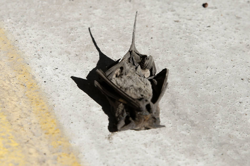 A dead bat at the employee parking lot of McCarran International Airport on Monday, Sept. 25, 2017, in Las Vegas. Bizuayehu Tesfaye Las Vegas Review-Journal @bizutesfaye