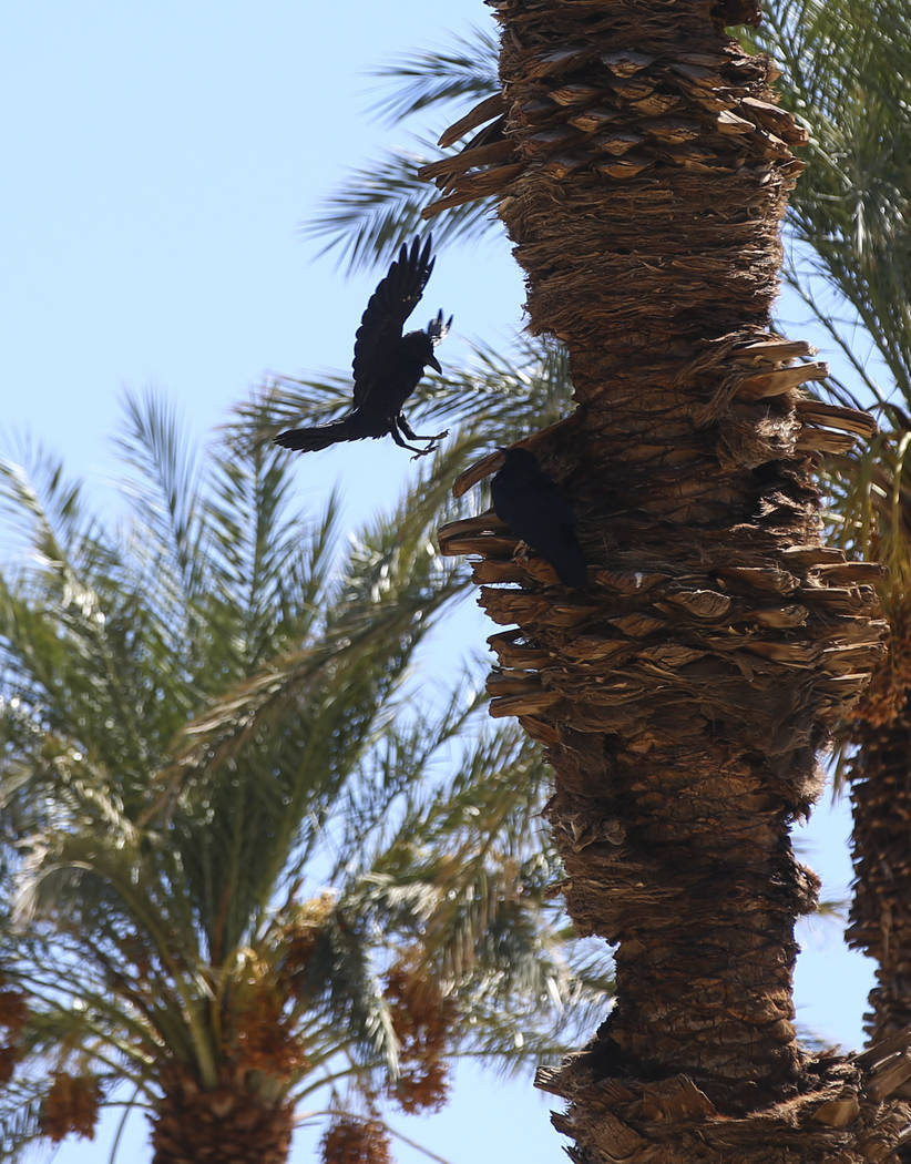 A raven lands on a palm tree at the Oasis at Death Valley on Thursday, Sept. 28, 2017. Originally called the Furnace Creek Ranch, the newly renamed resort area at the famed national park is underg ...