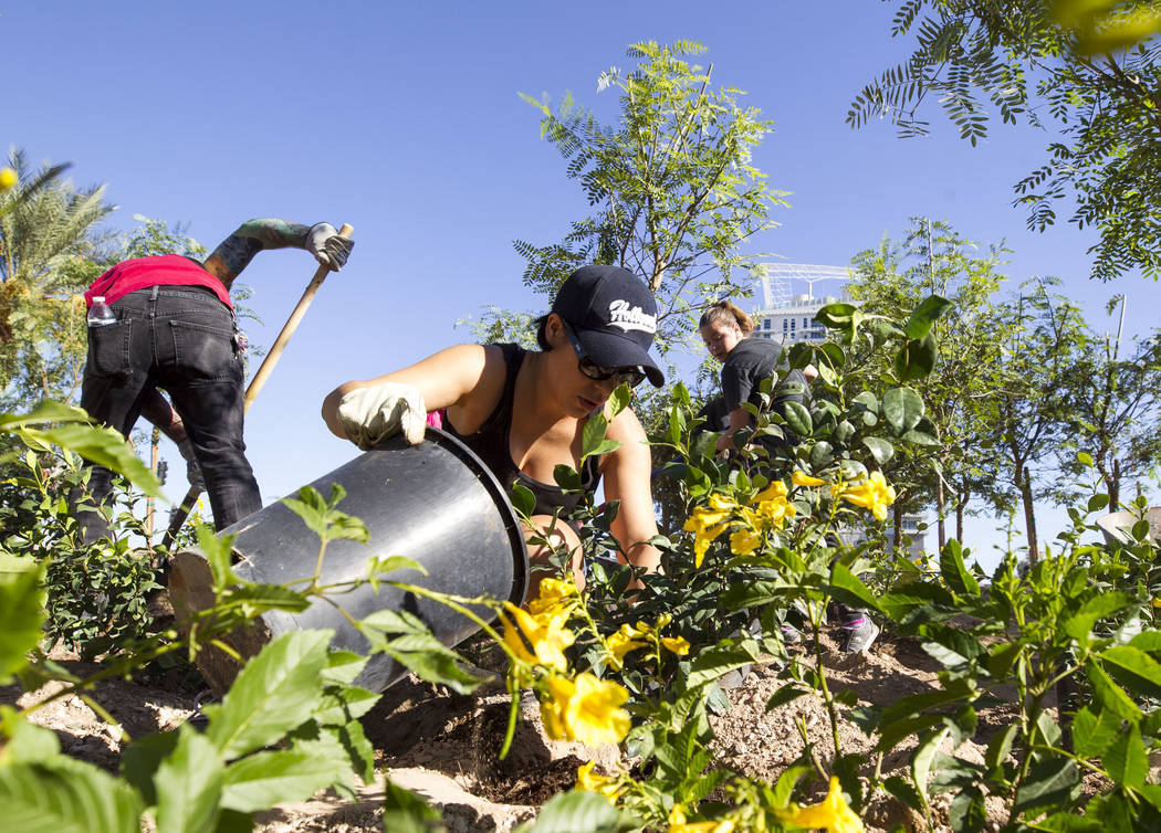Las Vegas resident Monica Lopez-Morales, 26, plants a shrub as she volunteers at an under-construction community healing garden located at South Casino Center and East Charleston boulevards in dow ...