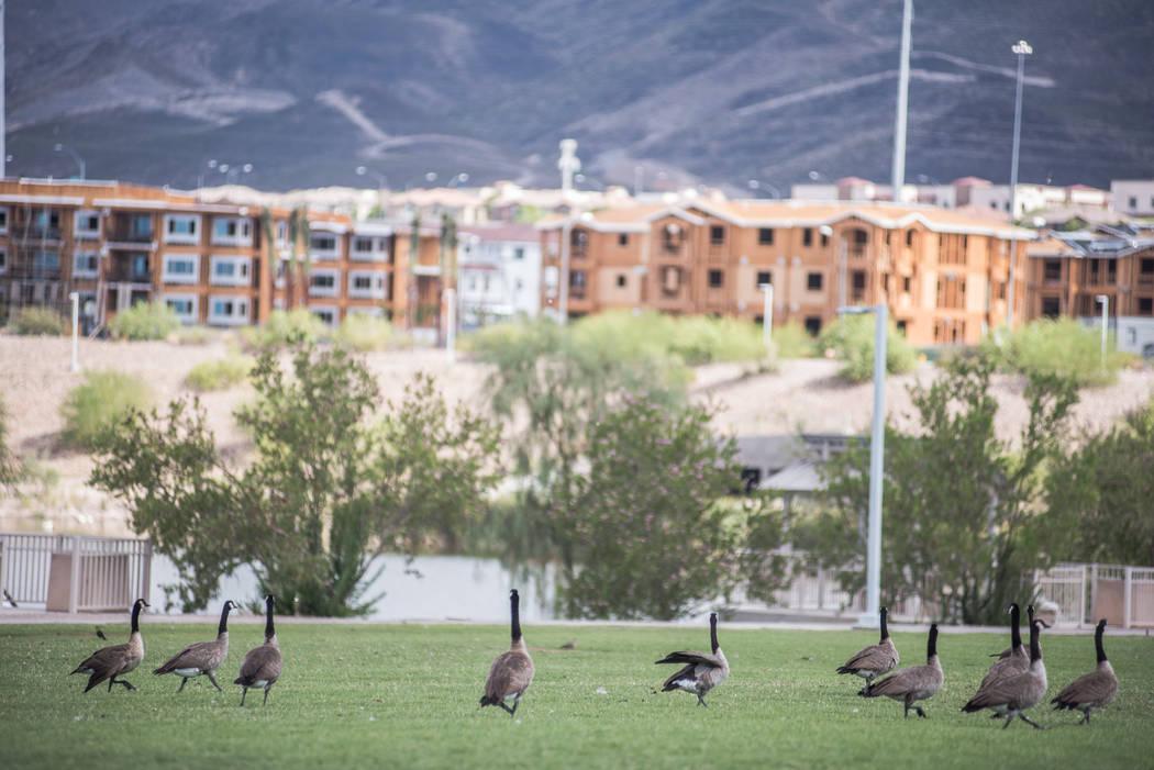 Ducks spend some time at Cornerstone Park in Henderson. (Morgan Lieberman/Las Vegas Review-Journal)
