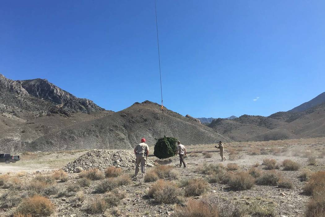 The Nye County Sheriff's Office, in a multi-agency effort, confiscated and disposed of nearly 2,385 marijuana plants in the Railroad Valley area in the northeast part of county, Sept. 29, 2017. (N ...