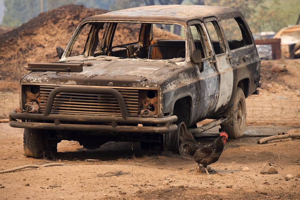 A rooster walks by one of several burned out vehicles after a wildfire destroyed a home and farm on Wednesday, Oct. 11, 2017, in Calistoga, Calif. Three days after the fires began, firefighters we ...