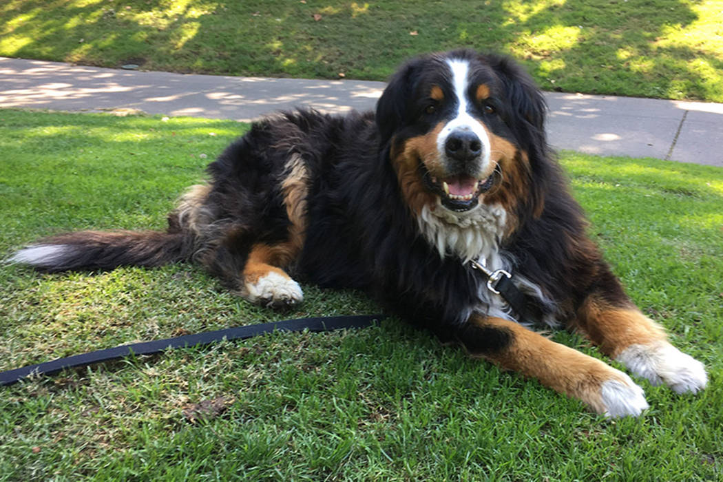 Izzy, a 9-year-old Bernese Mountain Dog who belongs to Jack Weaver's parents relaxes Saturday, Oct. 14, 2017, in Windsor, Calif. Weaver and his brother-in-law Patrick Widen were surprised to disco ...
