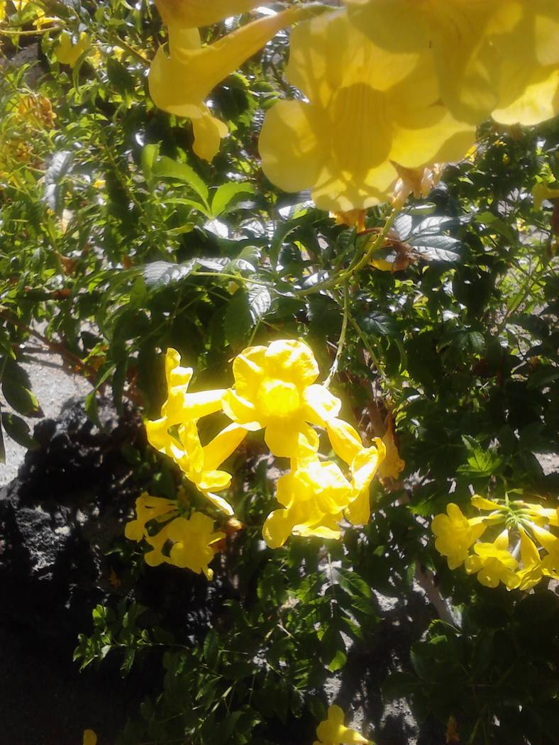 Bob Morris Yellow bells can be pruned lightly any time of the year but it's best to reserve heavy pruning cuts to the winter months.