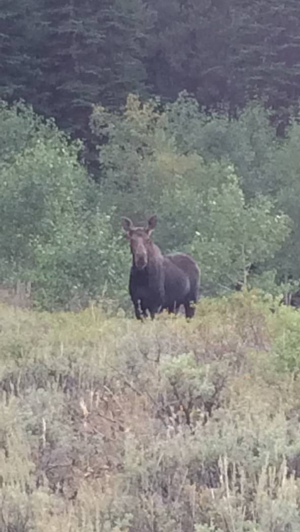 Moose are becoming an increasingly common site in northern Elko and Humboldt counties, where state wildlife officials say a resident population seems to be taking hold. Nevada Department of Wildlife