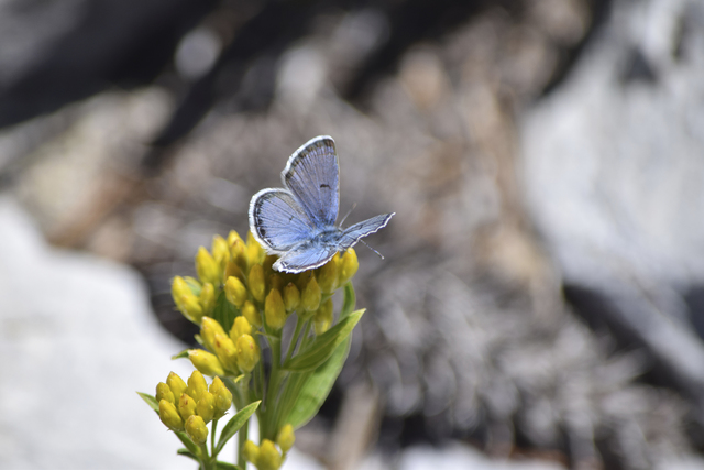 A male Mount Charleston blue butterfly collects nectar from a rock goldenrod flower in this undated photo taken in the Spring Mountains. (Daniel Thompson/UNLV)
