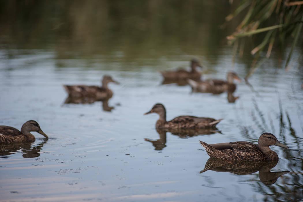 Ducks at Cornerstone Park in Henderson. (Morgan Lieberman/Las Vegas Review-Journal)