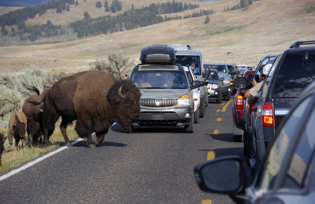 FILE - In this Aug. 3, 2016, file photo, a large bison blocks traffic as tourists take photos of the animals in the Lamar Valley of Yellowstone National Park in Wyo. The National Park Service is f ...