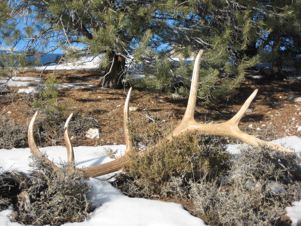 Shed antlers on the ground. Nevada wildlife officials are considering banning shed antler hunting during the winter months to help preserve the habitat of deer and elk. Shed antler hunters look fo ...