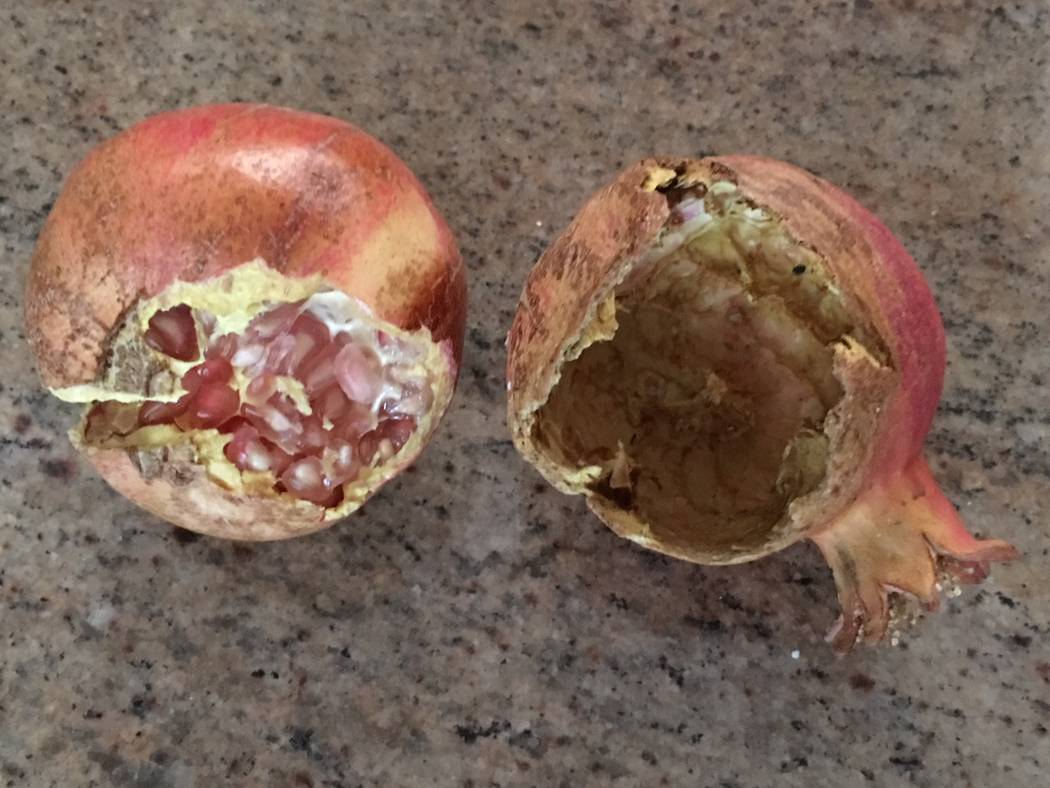 Bob Morris The usual reason for early splitting of pomegranate fruit is irregular applications of water.