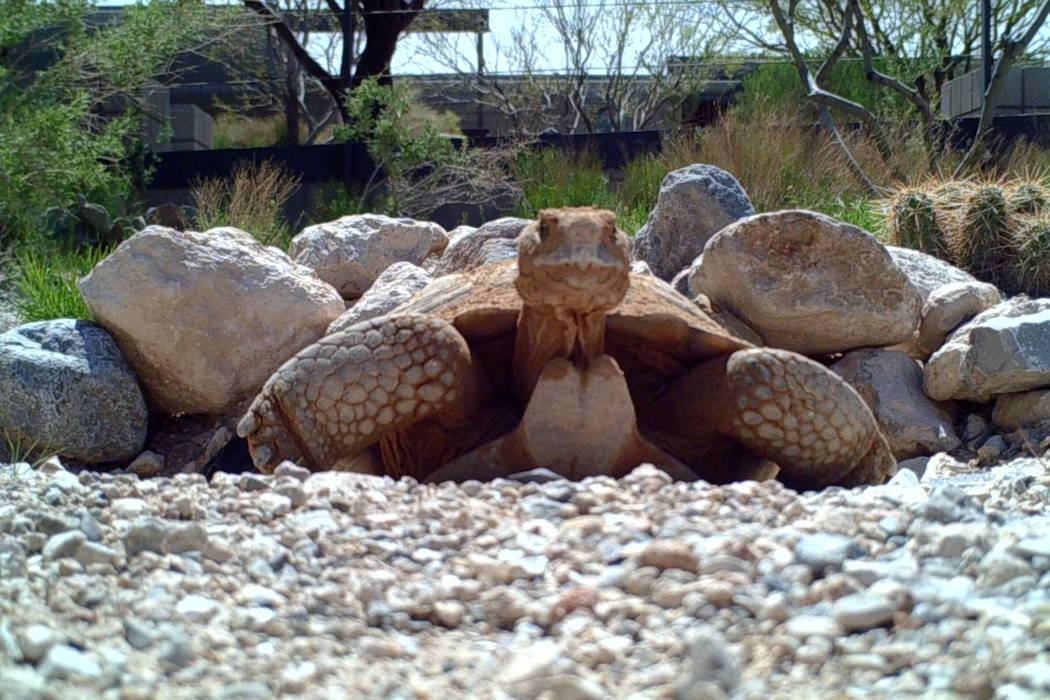 Max, a desert tortoise, has helped Clark County students learn about respecting and protecting the Mojave Desert's ecosystem since 2000. (Southern Nevada Conservancy)