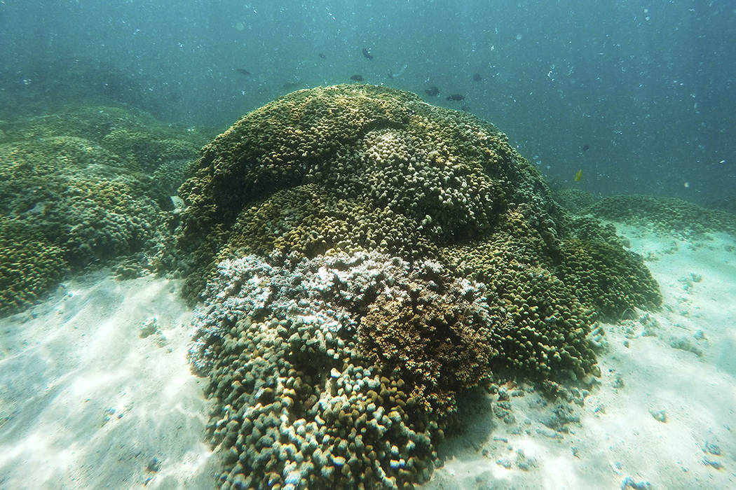 Fish swim over a patch of bleached coral in Hawaii's Kaneohe Bay off the island of Oahu in 2015. (AP Photo/Caleb Jones, File)