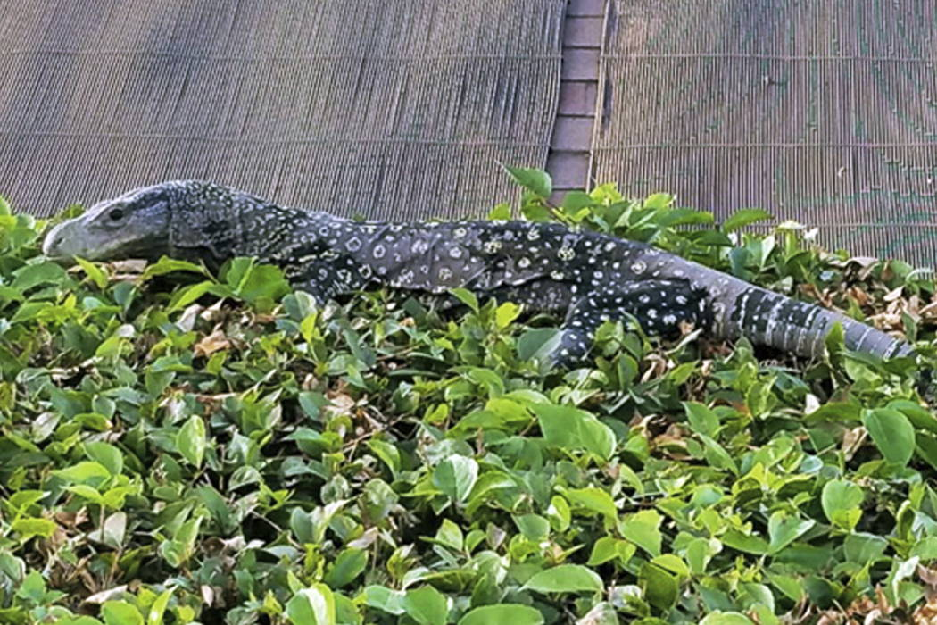 A four-foot-long crocodile monitor, a lizard that can grow to eight feet long, suns itself on a hedge in a backyard in Riverside, Calif. (J. Craig Williams via AP)