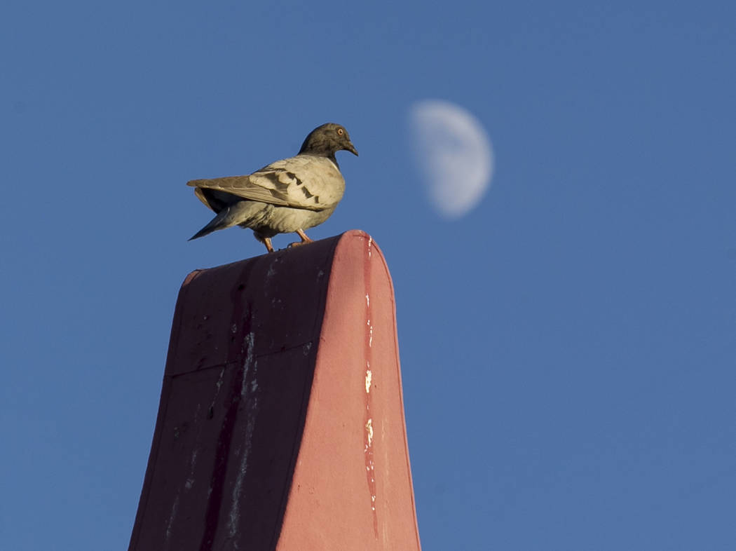 A pigeon sits on a sign at the shuttered Moulin Rouge, the first desegregated hotel-casino listed on the United States National Register of Historic Places, on Friday, Sept. 29, 2017, in Las Vegas ...