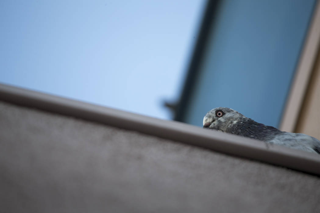 A pigeon sits on the roof of the West Flamingo Senior Center located at 6255 W. Flamingo Road on Friday, Sept. 15, 2017, in Las Vegas.  Richard Brian Las Vegas Review-Journal @vegasphotograph