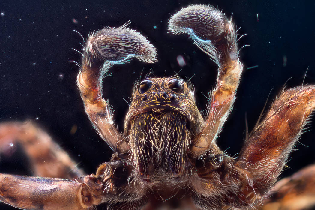 A wolf jumping spider. Thinkstock.