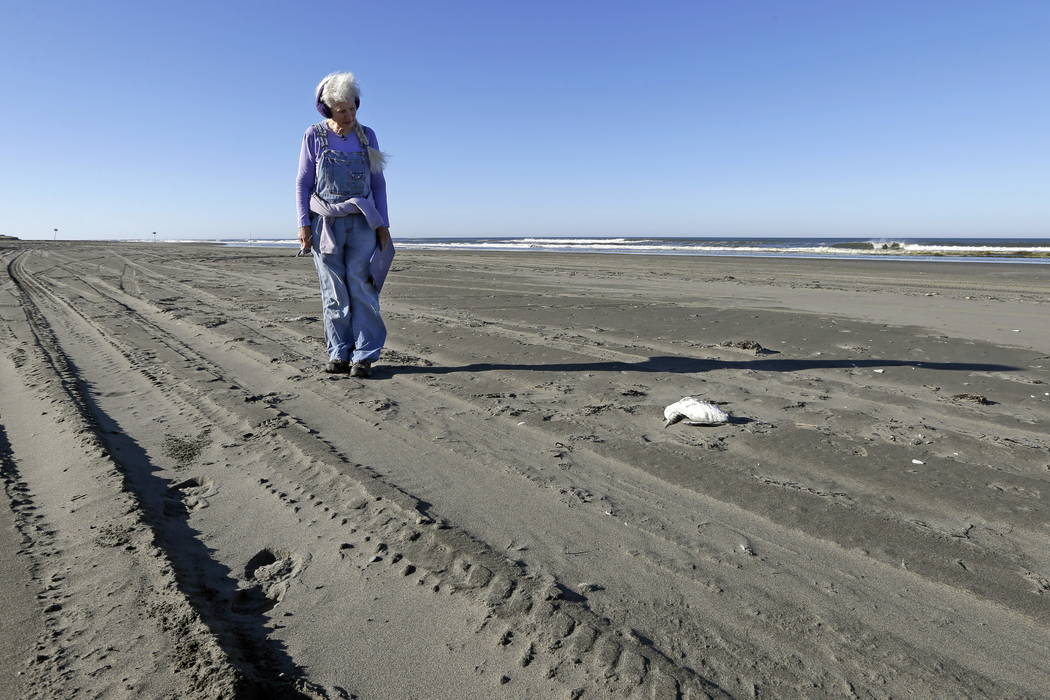 Barbara Patton walks toward a dead bird she is about to examine as part of a citizen patrol surveying dead birds that wash ashore on beaches along the U.S. West Coast, in Ocean Shores, Wash., in S ...