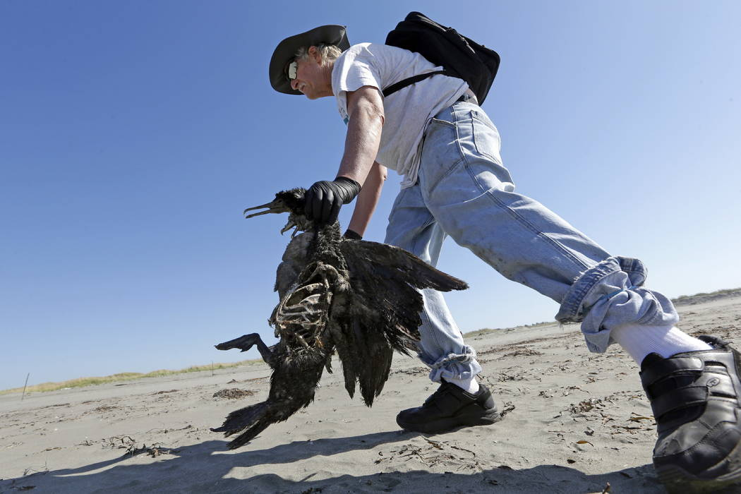Bob Witt picks up the remains of a Brandt's cormorant as part of a citizen patrol surveying dead birds that wash ashore on beaches along the U.S. West Coast, in Ocean Shores, Wash., in September.  ...