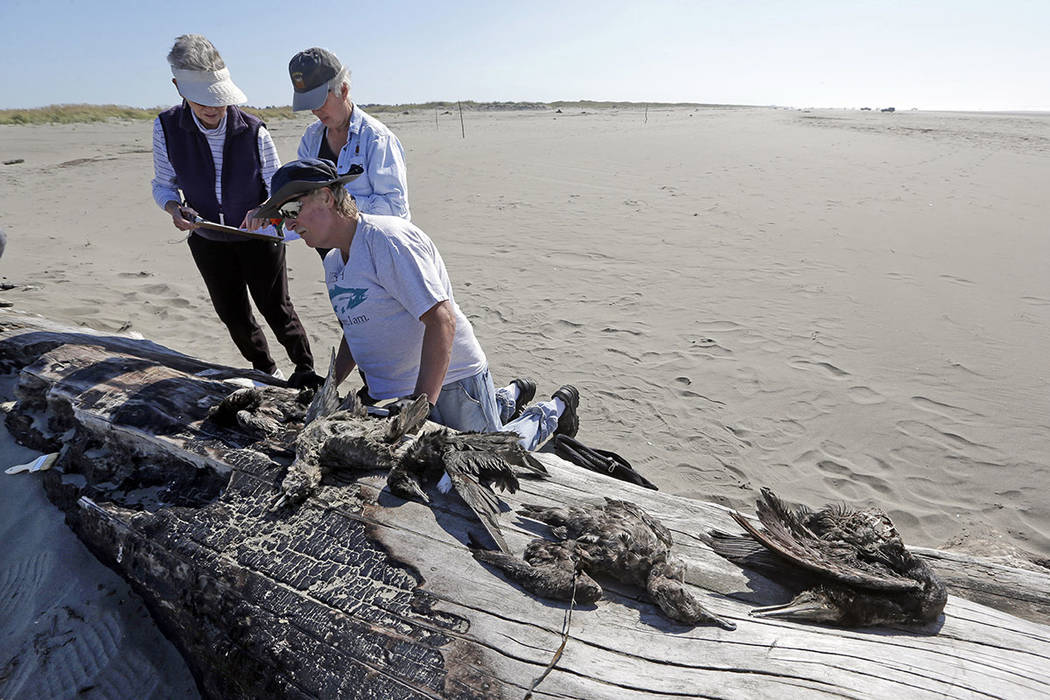 Jeanne Finke, left, Susan Kloeppel and Bob Witt begin to identify the remains of birds they collected as part of a citizen patrol surveying dead birds that wash ashore on beaches along the U.S. We ...