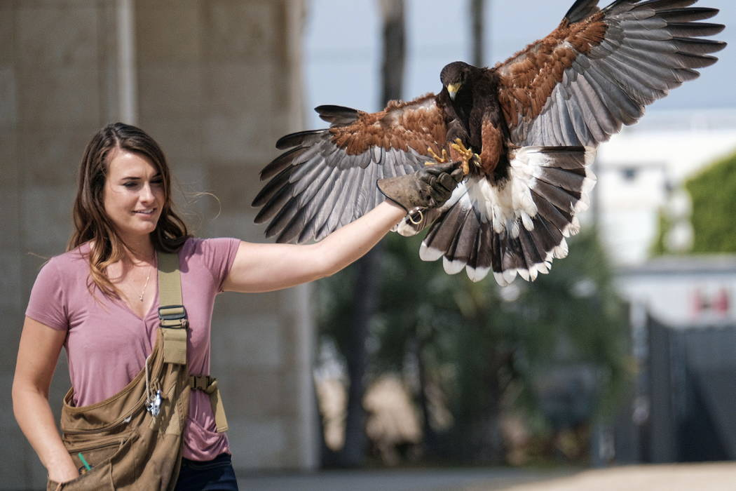 Falconer Alyssa Bordonaro releasing her Harris's hawk named Dany at the Museum of Modern Art in Los Angeles in April. (AP Photo/Richard Vogel)