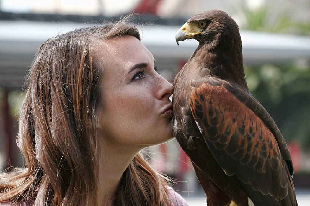 Falconer Alyssa Bordonaro gives a kiss to Dany her Harris's Hawk during a day at work at the Museum of Modern Art in Los Angeles in April. (AP Photo/Richard Vogel)