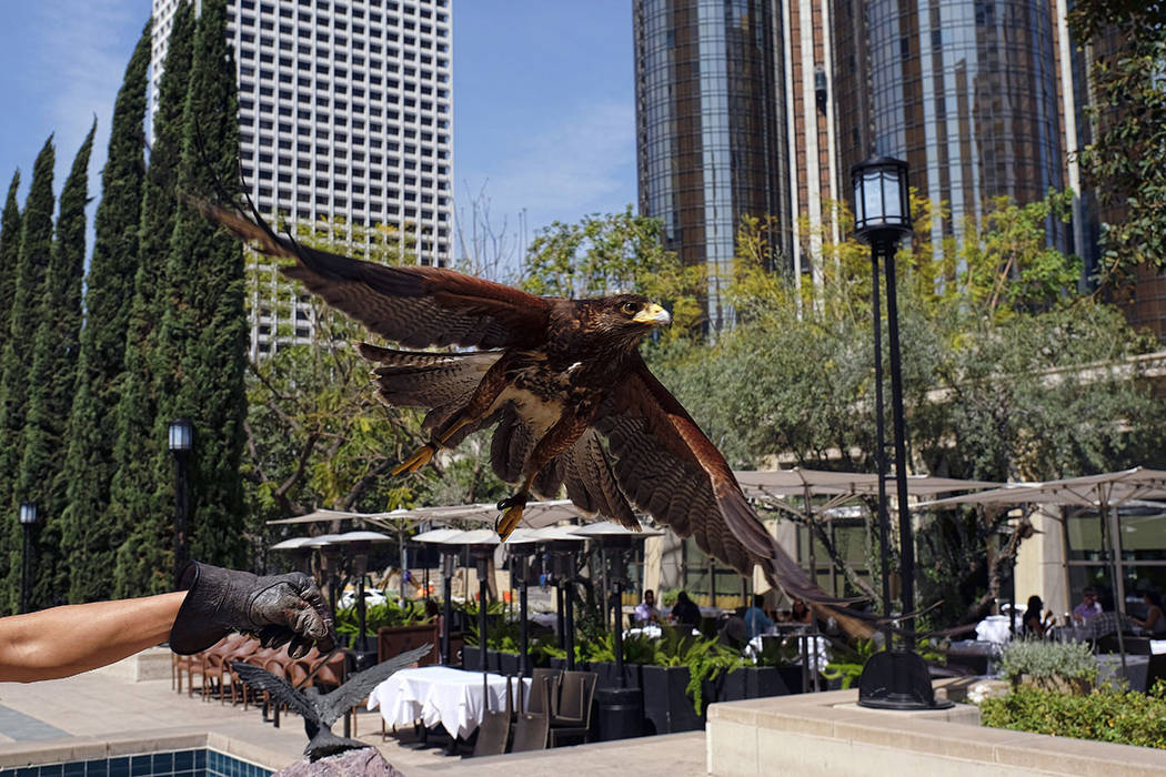 A Harris's hawk named Riley is released by his owner Mike Bordonaro outside the Los Angeles Public Library in downtown Los Angeles in March. (AP Photo/Richard Vogel)