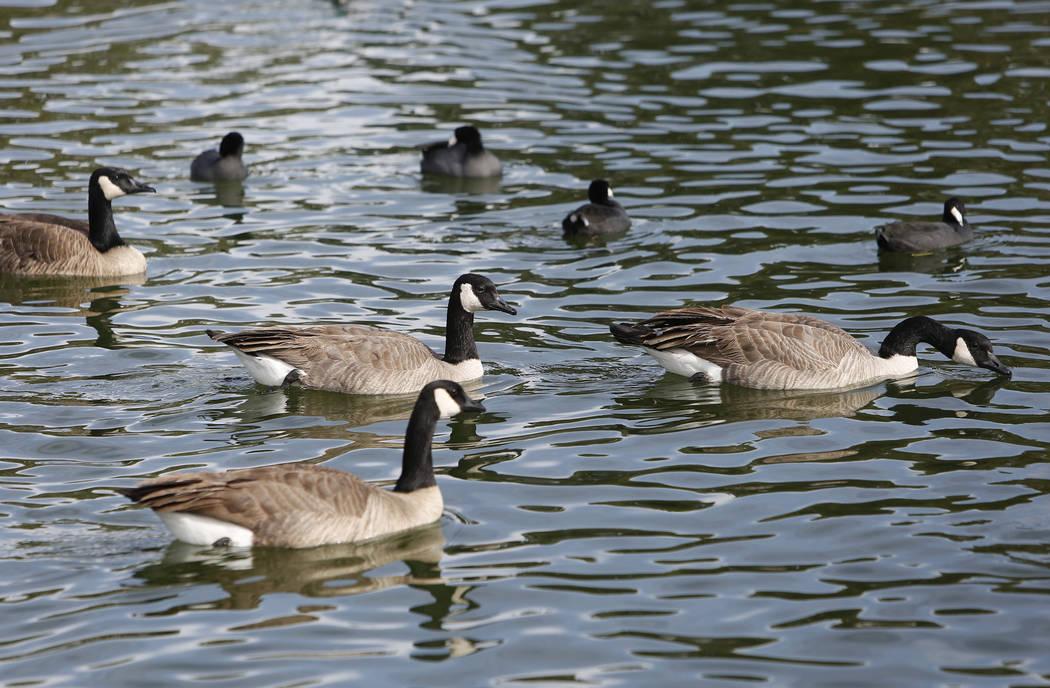 Canada geese and America coots swim during International Migratory Bird Day on Tuesday, Nov. 21, 2017 at Sunset Park Lake in Las Vegas. Bizuayehu Tesfaye Las Vegas Review-Journal @bizutesfaye