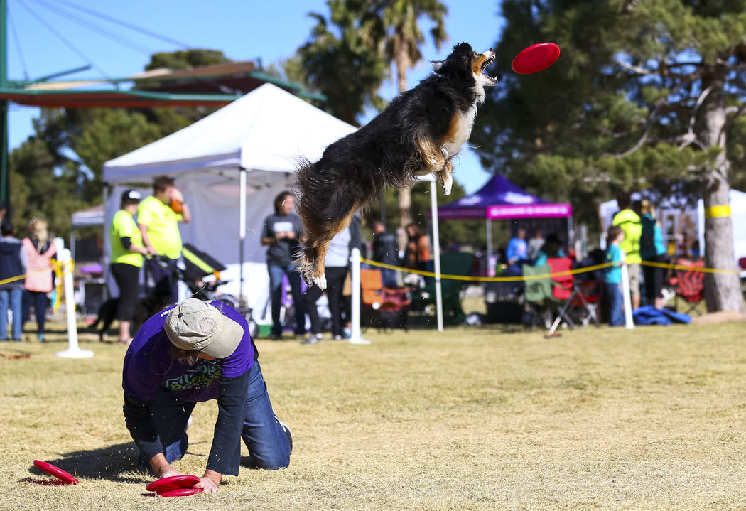 Daniel Neel and eleven-year-old Jessie, a miniature American shepherd, perform a frisbee routine during the Animal Foundationճ 5th Annual Fast and Furriest 5K event at Sunset Park in Las Veg ...