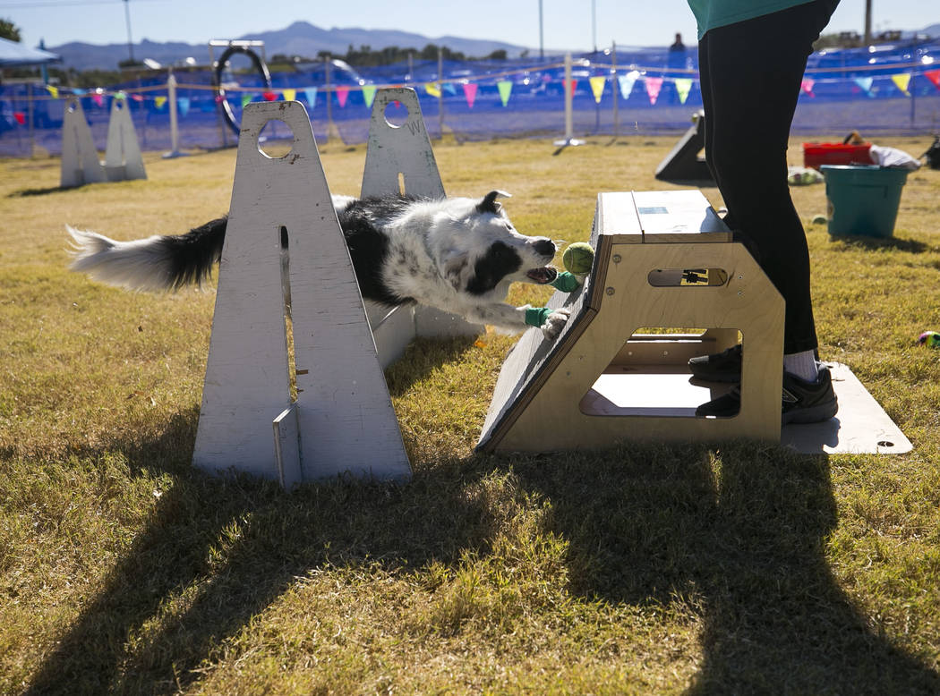 Five-year-old Trace, a border collie dog, retrieves his ball in a flyball relay demonstration during the Animal Foundationճ 5th Annual Fast and Furriest 5K event at Sunset Park in Las Vegas, ...