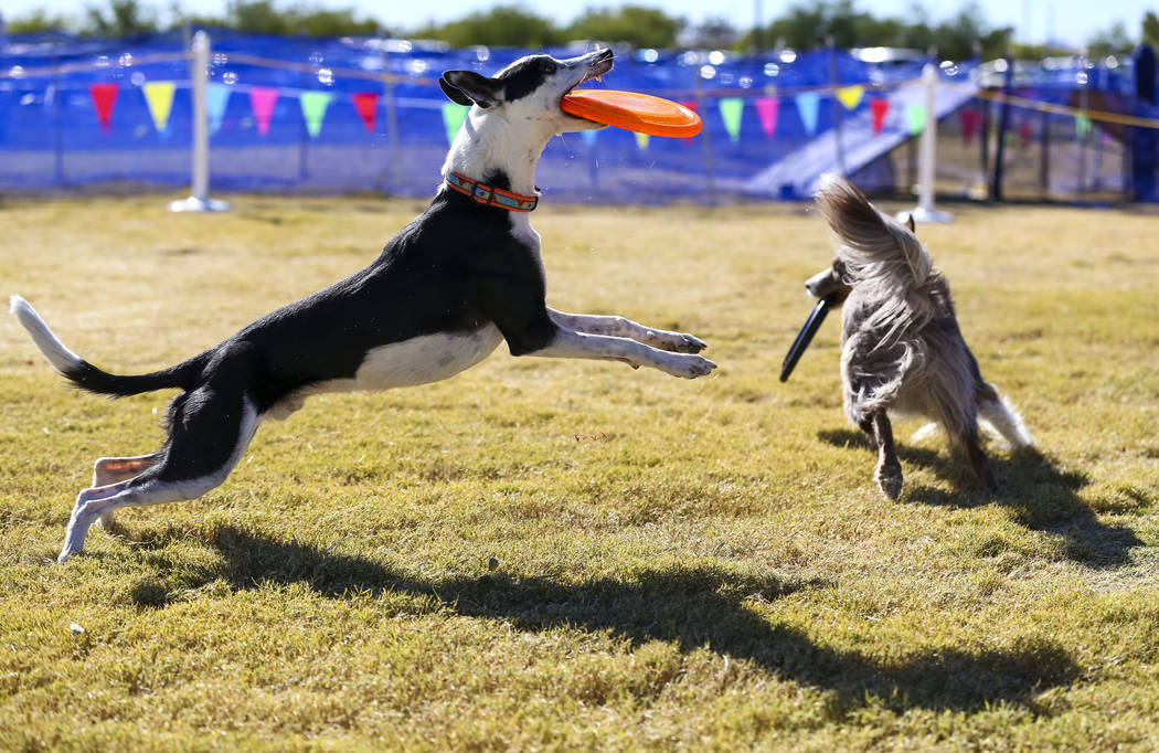 Quix, left, and Xcel retrieve frisbee's in a mini distance demonstration during the Animal Foundation's 5th Annual Fast and Furriest 5K event at Sunset Park in Las Vegas, Saturday, Nov. 18, ...