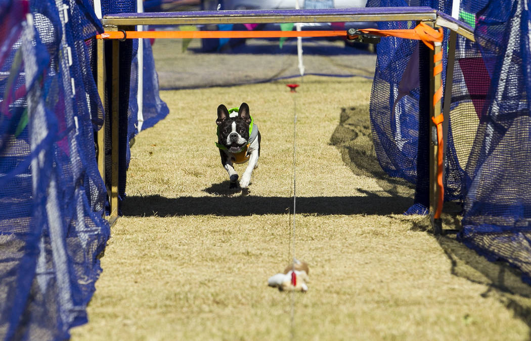 Drax, a French bulldog and Boston terrier mix, chases a toy in an obstacle course event during the Animal Foundationճ 5th Annual Fast and Furriest 5K event at Sunset Park in Las Vegas, Satur ...