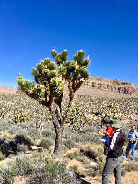 Grapevine Mesa Joshua Tree Forest, about 100 miles southeast of Las Vegas (Friends of Arizona Joshua Tree Forest)