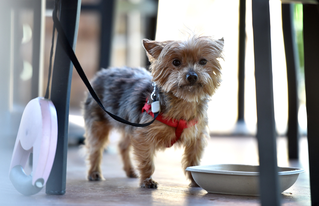 Camile, a 7-year-old Yorkshire terrier, peers up at a visitor after sipping water while out to eat with her owners at the Lazy Dog restaurant in Summerlin. (David Becker/Las Vegas Review-Journal)
