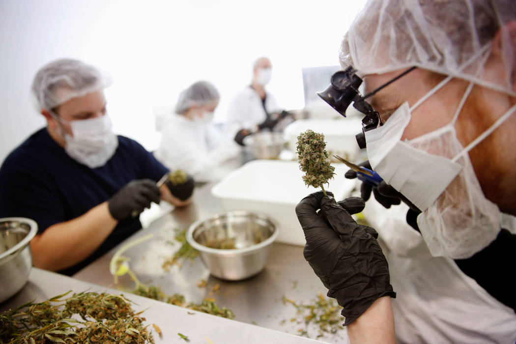 Director of Quality Assurance Thomas Shipley prunes dry marijuana buds before they are processed for shipping at Tweed Marijuana Inc  in Smith's Falls, Ontario, April 22, 2014.  (REUTERS/Blair Gab ...