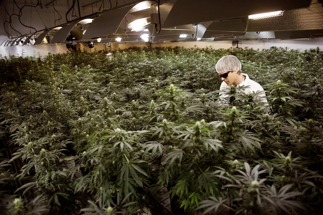 Master Grower Ryan Douglas waters marijuana plants in a growing room at Tweed Marijuana Inc in Smith's Falls, Ontario, February 20, 2014. (REUTERS/Blair Gable)