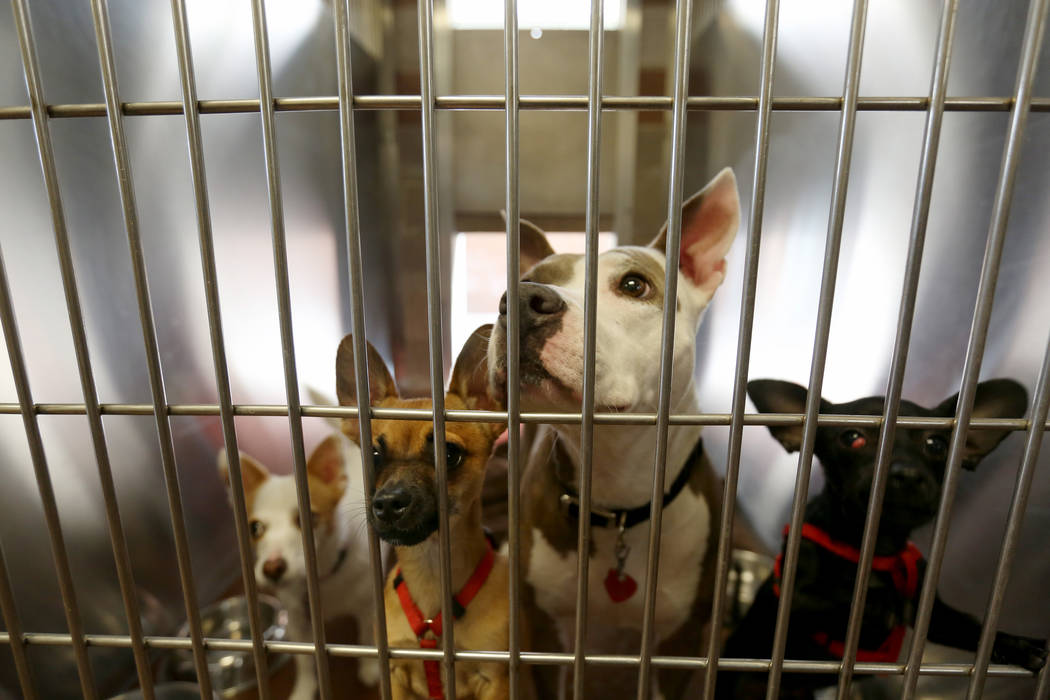 Dogs belonging to the same family stay together at Noah's Animal House in North Las Vegas on Tuesday, Nov. 21, 2017. Noah's Animal House is the pet shelter that partners with The Shade Tree shelte ...