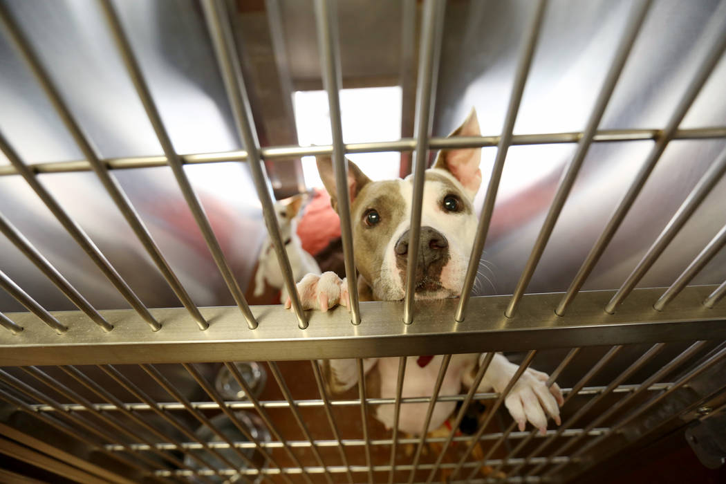 Unique, a pit bull, stays at Noah's Animal House in North Las Vegas on Tuesday, Nov. 21, 2017. Noah's Animal House is the pet shelter that partners with The Shade Tree shelter for victims of domes ...