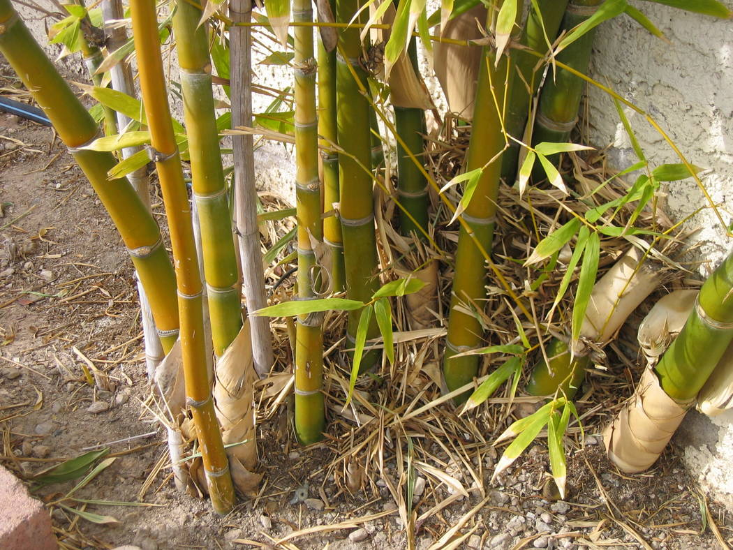 Bob Morris Timber bamboo heaves walls, driveways and patios if planted too close to them. It requires very large amounts of water.
