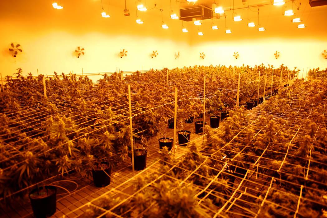 Marijuana plants in the flowering room at the Essence Cannabis Dispensary on Wednesday, Dec. 14, 2016, in Las Vegas. (Rachel Aston/Las Vegas Review-Journal) @rookie__rae