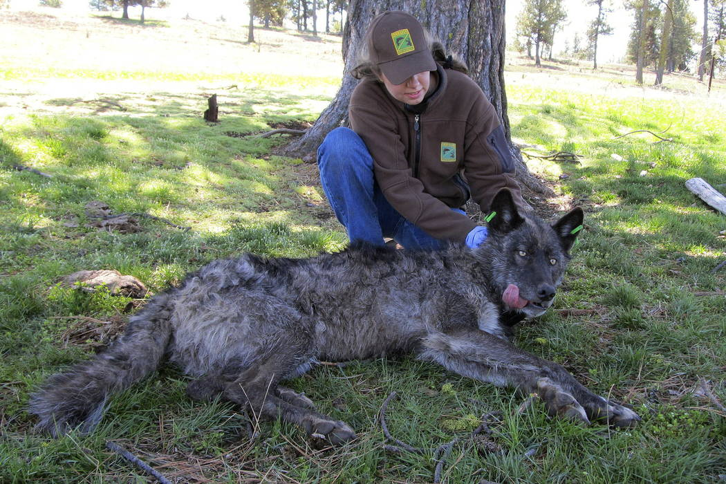 The Imnaha wolf pack's alpha male OR-4 is lies down after being refitted with a working GPS collar in Wallowa County east of Joseph, Ore., in 2011. (Oregon Department of Fish and Wildlife via AP)