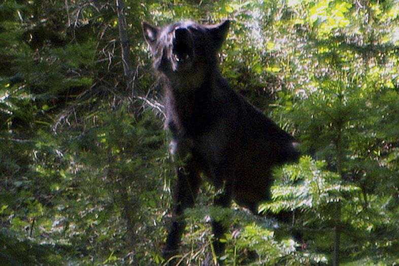 This 2009 photo shows the alpha male OR-4 that bred with B-300 to produce the Imnaha wolf pack in the Imnaha Unit in northeast Oregon's Wallowa County near Joseph, Ore. (Oregon Department of Fish  ...